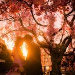 ドラマチックな桜のロケーションウエディング写真